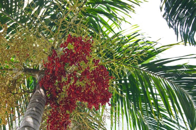 11269754-Ripe-Betel-Nut-Or-Areca-Nut-Palm-On-Tree-Stock-Photo