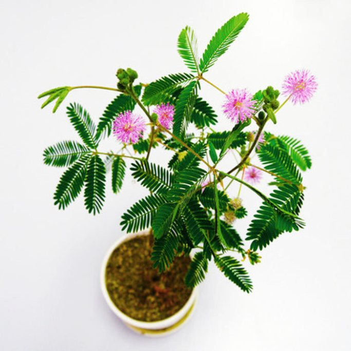 60pcs-bonsai-tree-font-b-Mimosa-b-font-font-b-Seeds-b-font-Bashful-grass-plants