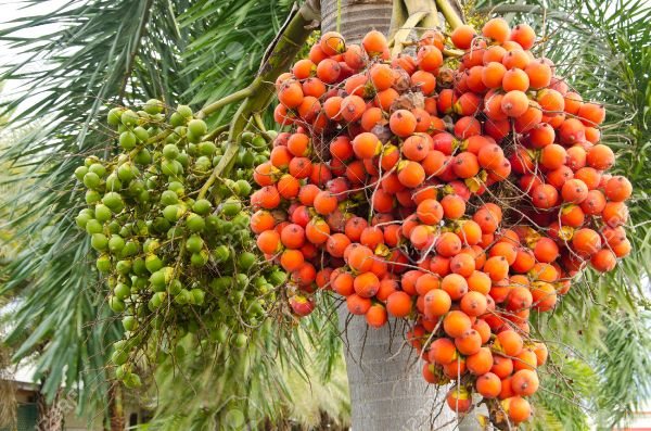 Ripe and Raw Betel Nut Or Areca Nut Palm