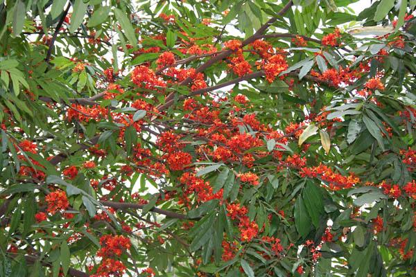 Sita-Ashok-Saraca-asoca-leaves-flowers