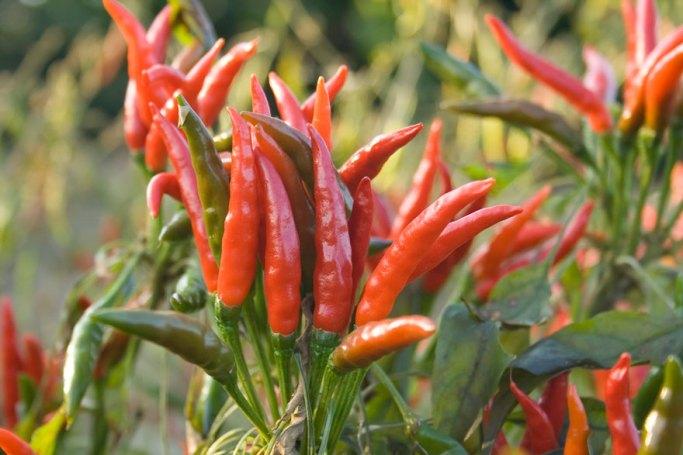yatzy-yatsufusa-cayenne-hot-pepper-pepper-joes