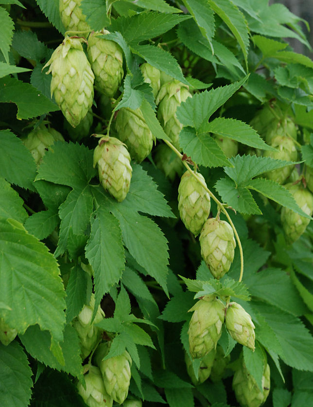 Hops (Humulus Lupulus) Overview, Health Benefits, Side effects (1)